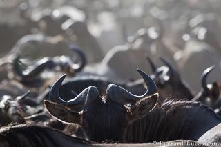Backlit Wildebeest