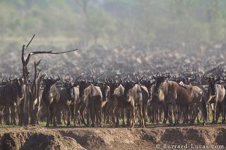 Wildebeest Congregation