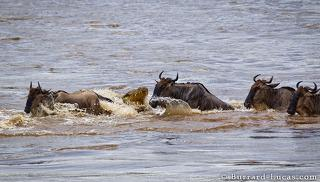 Wildebeest Crocodile