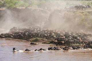Wildebeest Dust