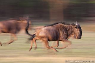Wildebeest Herd Running
