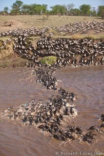 Wildebeest Migration 2010